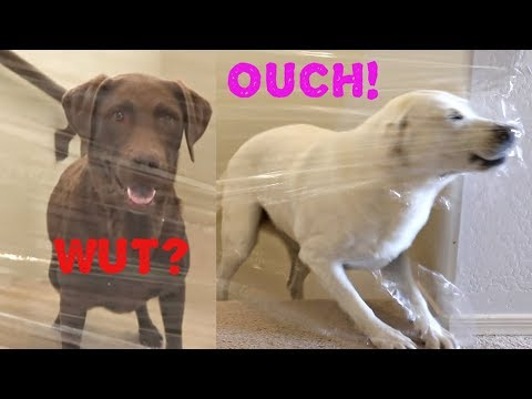 MY DOGS REACT TO THE INVISIBLE CHALLENGE!!
