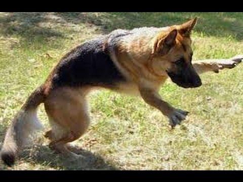 German Shepherd Training Toy, DIY Dog Flirt Pole