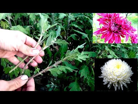 How to grow chrysanthemums from cutting / easy way 100% root
