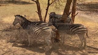 Widzicie te paski? Nie ma dwóch identycznych zebr - Bandia Reserve - Senegal - Afryka