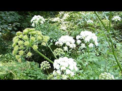 Медонос Сибири Болиголов крапчатый - Conium maculatum.