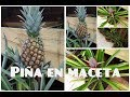 LA MEJOR MANERA DE SEMBRAR PIÑA EN MACETA ( How To Grow Pineapple Plants In Containers)