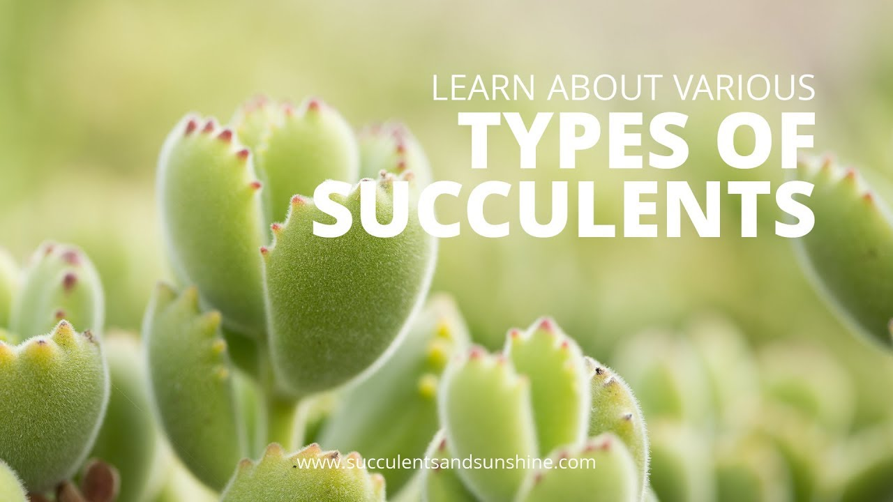 Types Of Succulents With Pictures Succulents And Sunshine