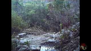 Monitoreo biológico enfocado a felinos - mixteca CONANP thumbnail