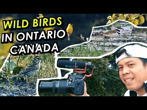 WILD BIRDS In Ontario Canada | Searching Wild Birds | Epidemic Sound Free Music | Canon 55-250 Mm