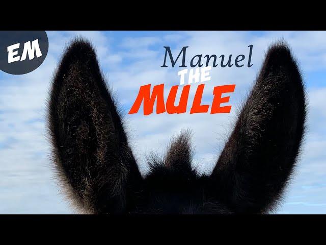 Meet Manuel the Mule from Spain!