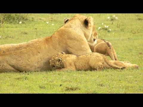 leeuwen filmpje Tanzania