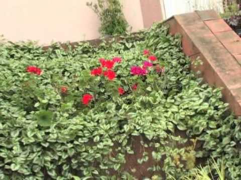 Агрессивные растения в саду. Белокопытник. Дюшенея. Зеленчук. Чина. Синеголовик.