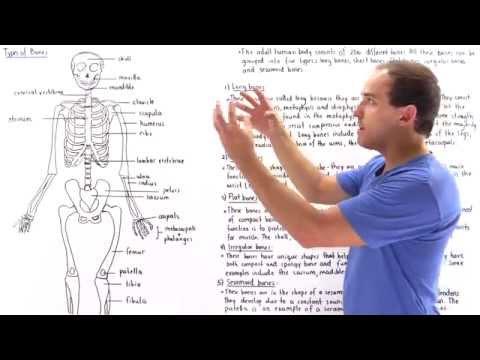 Long Bones Short Bones Flat Bones Irregular Bones Sesamoid Bones
