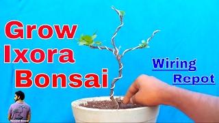 फ ल क प ध स ब न स ई क स बन य how to grow ixora plant as bonsai mammal bonsai