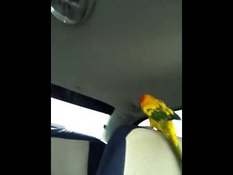 how to train my sun conure to talk