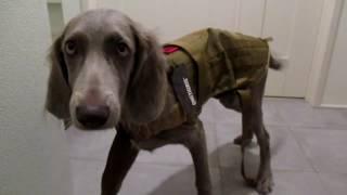 犬が防寒着を着る動画 ブログはこちら http://ur2.link/AZSY.