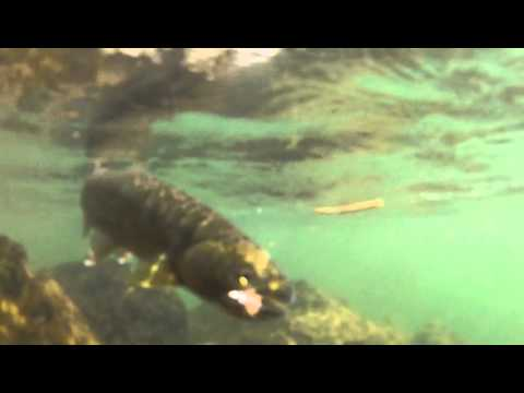 Trout fly fishing on the trask river oregon youtube for Trask river fishing report