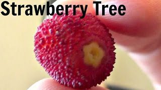Strawberry Tree Fruit Review (Arbutus Unedo) - Weird Fruit Explorer - Ep. 71