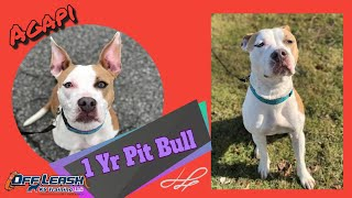 1yo Pitbull (Agapi)| Before & After | Obedience Transformation | Delaware Dog Training