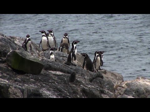 Chile penguins win battle in war against mine