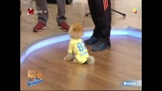 Eğitimli Pomeranian Boo Sortie
