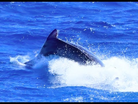 GIANT BLACK MARLIN for ZFG Cairns COMPTON