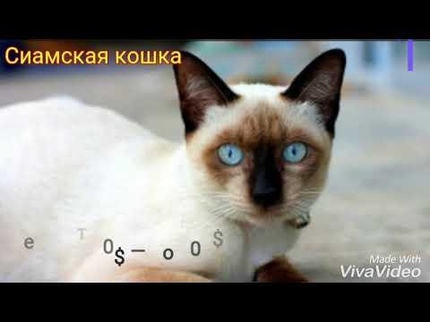 10 самых опасных пород кошек! Жесть!!!