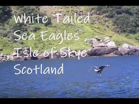 Sea Eagle - Isle Of Skye - Scotland, UK, Nature, Birds, Birdwatching