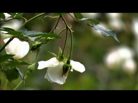 音樂磁場-嫁妝 , 720P HD 玫瑰A  Roses - Taiwan