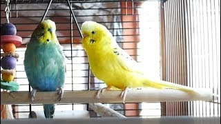 1 Hour of Budgie Best Friends Talking, Playing and Singing - Mango and Chutney