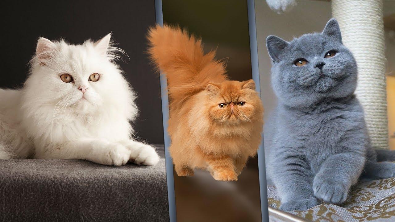 أفضل 7 أنواع قطط منزلية في العالم Youtube