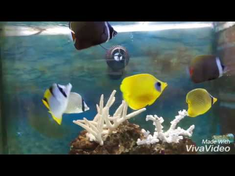 Chaetodon Mixed Butterfly Fish By Marsha