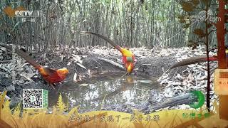 《秘境之眼》 红腹锦鸡/黑领噪鹛 20200327| CCTV