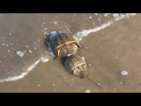 Horseshoe Crabs & Shorebirds at Moores Beach, New Jersey