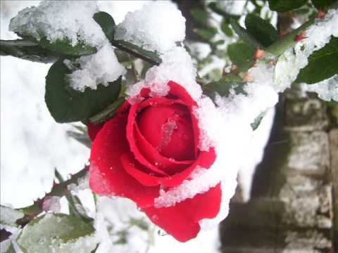 Роза на снегу песня