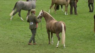 Merlod Cymreig Eboles / Adfarch 3 | Welsh Ponies Filly or Gelding 3 yr