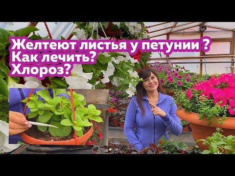 Желтеют листья у петунии ? Как лечить? Хлороз? | пожелтела | рассаде | петуния | желтеют | желтеет | листья | делать | лист | если | что