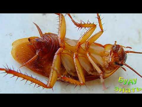 ИЗБАВИТЬСЯ  от тараканов поможет БОРНАЯ КИСЛОТА