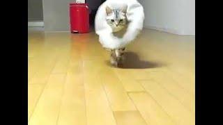 Cat Practices Runway Walk || ViralHog