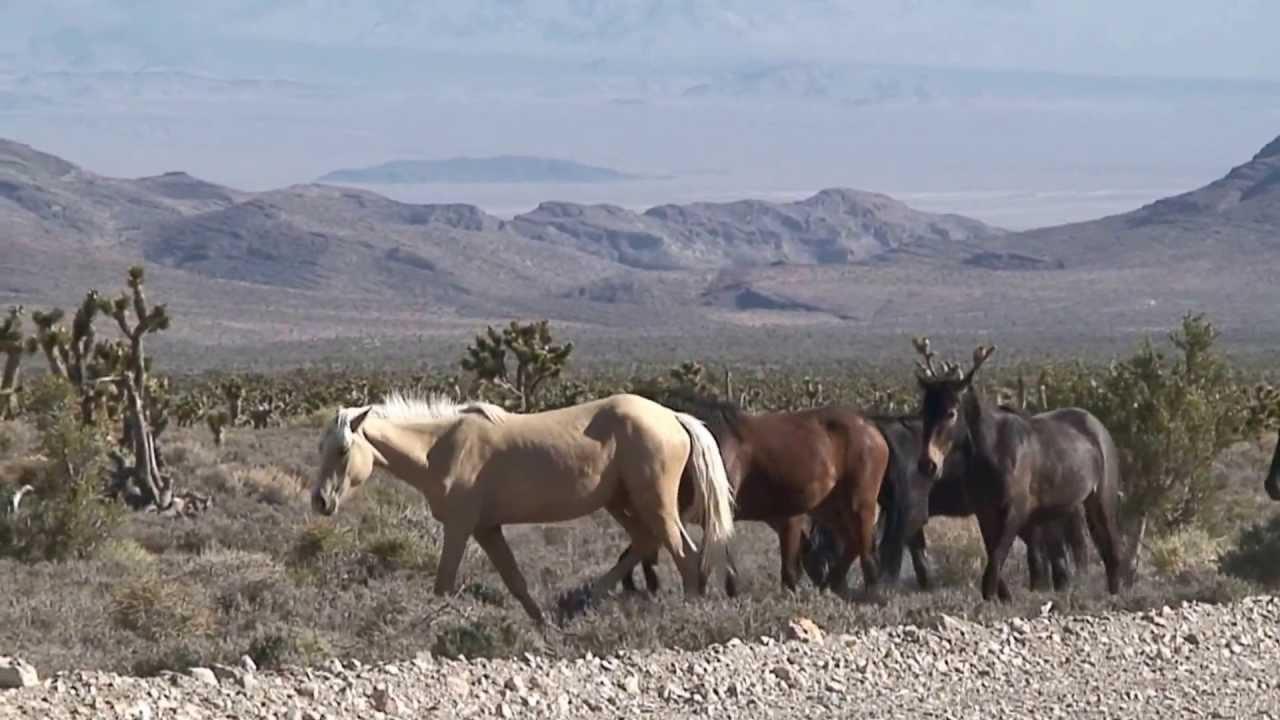 Wild Horses at Cold Creek Nevada (Las Vegas)