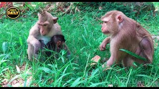 Baby monkey Cries for pick up Alpha and some monkey fighting near, Angkor Daily 534