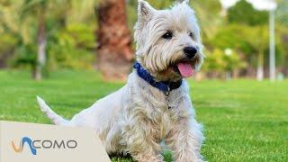 El Perro Westie