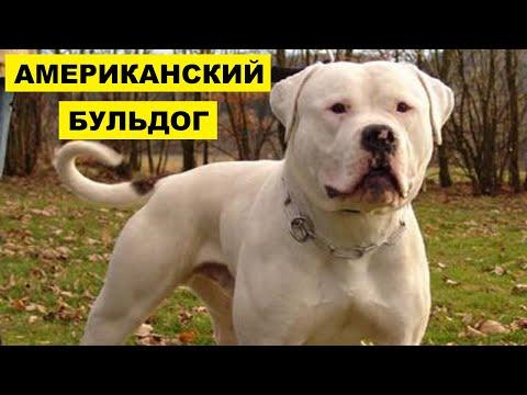 Собака Американский бульдог плюсы и минусы породы | Собаководство | Порода Американский бульдог