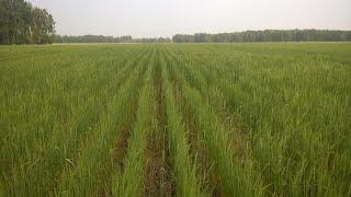 Широкорядный посев пшеницы