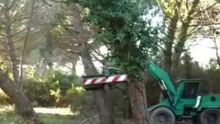 Harvesting Italian Pine Nuts