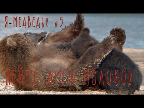 Медведи, кто такие медведи, крупный хищник, вес, длина