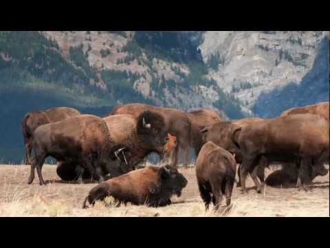 Return of the Yellowstone Bison -- The Conservation Science