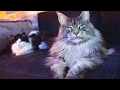 BIG CATS MAINE COON breeds are Majestic and Funny CATS l