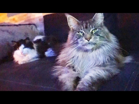 BIG CATS MAINE COON breeds are Majestic and Funny CATS like little LIONS !!