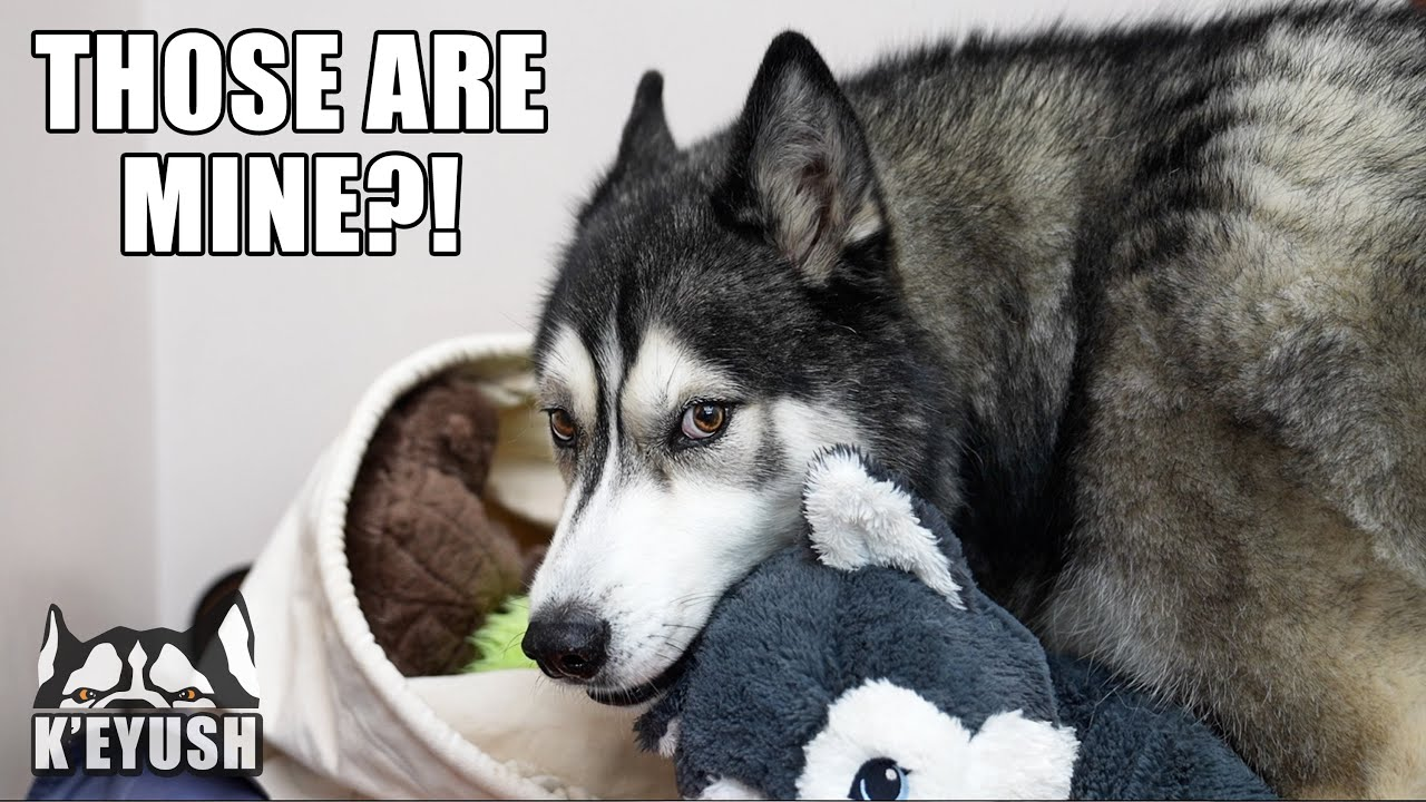 Husky Sees Rescue Dogs Play With HIS Toys He Donated!