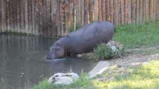 Ippopotami si tuffano in acqua! 13/08/2013