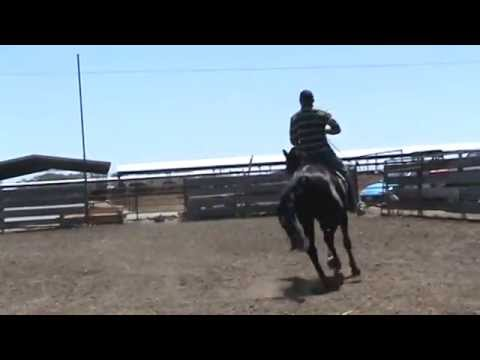 Black Andalusian For Sale 62