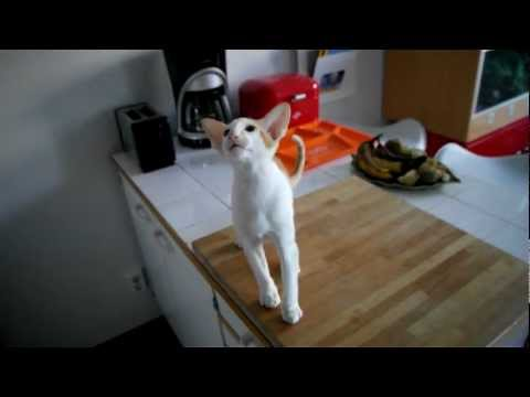 Oriental shorthair wants porridge.