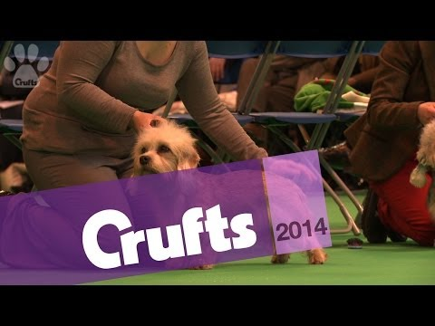 Dandie Dinmont Terrier | Best of Breed | Crufts 2014